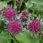 Biene-und-Hain-Schwebfliege-DSC06527