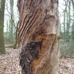 Ein alter Kirschbaum (DSC01825)