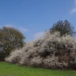 Blühende Hecke (DSC01918)