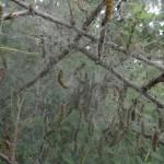 DSC05151-Gespinstmotten
