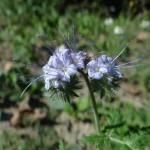 Bienenfreund (Phacelia)