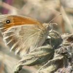 Kleines Wiesenvögelchen P1030529