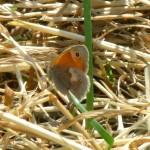 Kleines Wiesenvögelchen P1030532