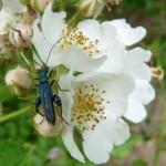 Blaugrüner Schenkelkäfer (Oedemera nobilis) P1110417