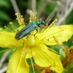 Blaugrüner Schenkelkäfer (Oedemera nobilis) P1110847