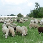 Schafe weiden im Gewerbegebiet Achenbach P1040176