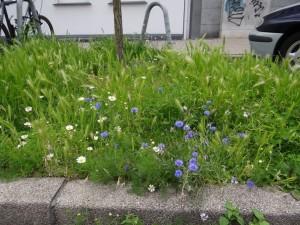 Kornblumen im Dortmunder Hafen DSC06435