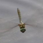 Falkenlibelle-Weibchen