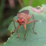 Fliege im Groppenruch