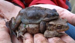 Frosch auf Kröte