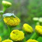 Groppenbruch Rainfarn-Weichwanze (Megalocoleus tanaceti) 03-08-2014