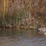 Hochwasserrückhaltebecken Mengede/Ickern - Knäkenten mit Schnattererpel