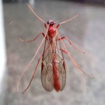 Schlupfwespe (Ophion luteus)