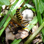 Yoga-Biene beim Kopfstand