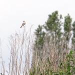 Dorngrasmücke kurz vor der Mahd