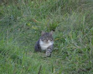 Katzen töten Millionen Wildtiere