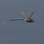 Große Königslibelle Flug