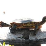 Schidlkröte macht Yoga