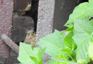 Betelndes Rotkehlchen-Küken