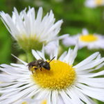 Wildbiene - aber welche?