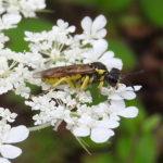 Blattwespe (Tenthredo arcuata)
