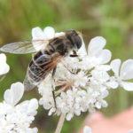 Kleine Bienenschwebfliege