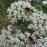 Pinselkaefer mit Kleinen Keilfleckschwebfliegen