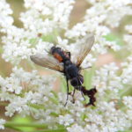Raupenfliege (Cylindromyia interrupta)