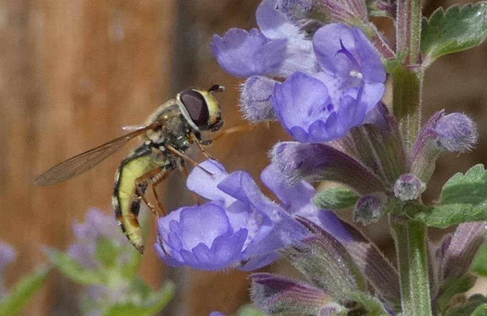 Feldschwebfliege an Blüte der Katzenminze